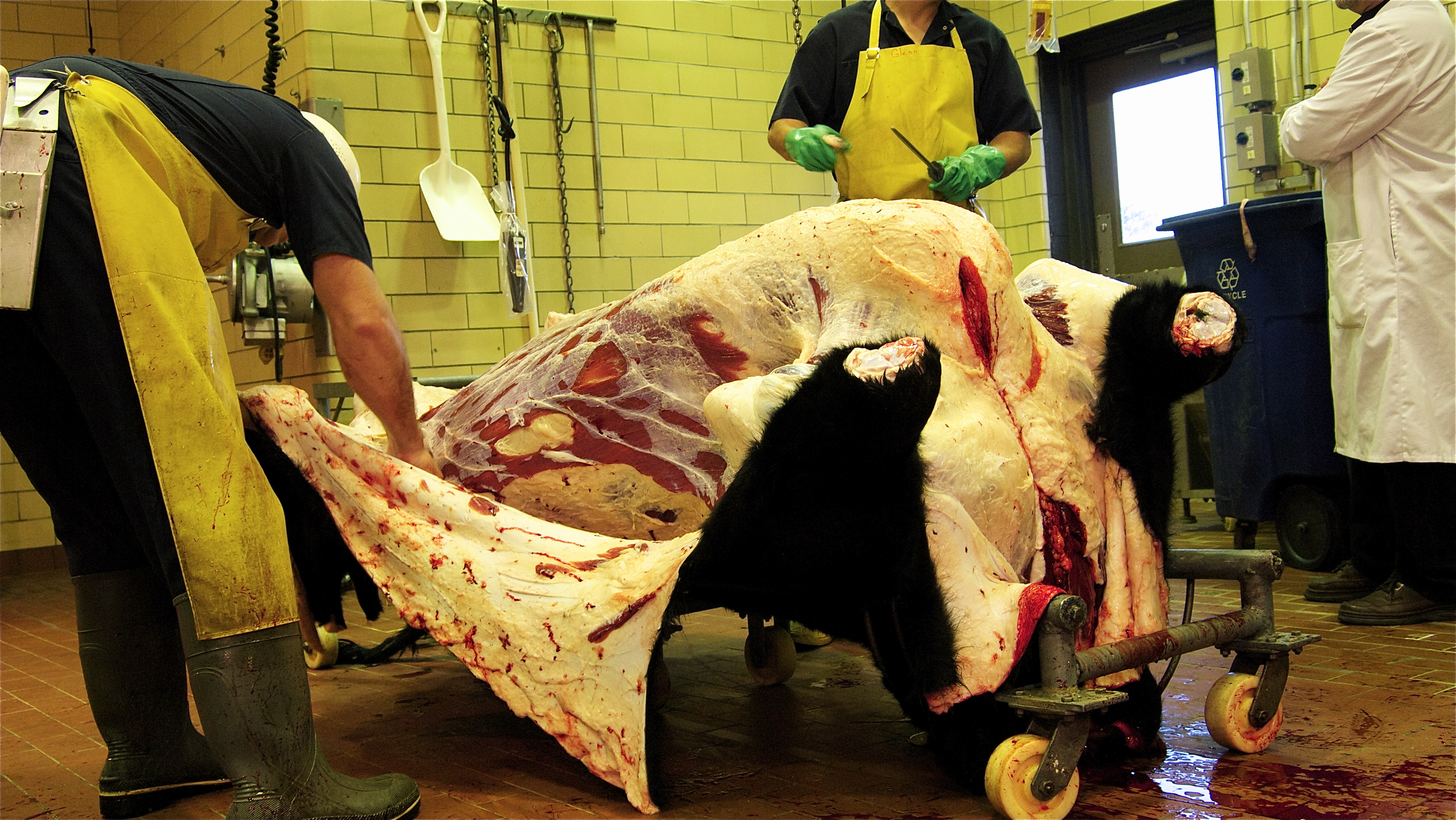 slaughter cattle essays We meet temple grandin the cattle industry of the midwest in the 1970s, however, was not an easy place for a young woman to succeed.